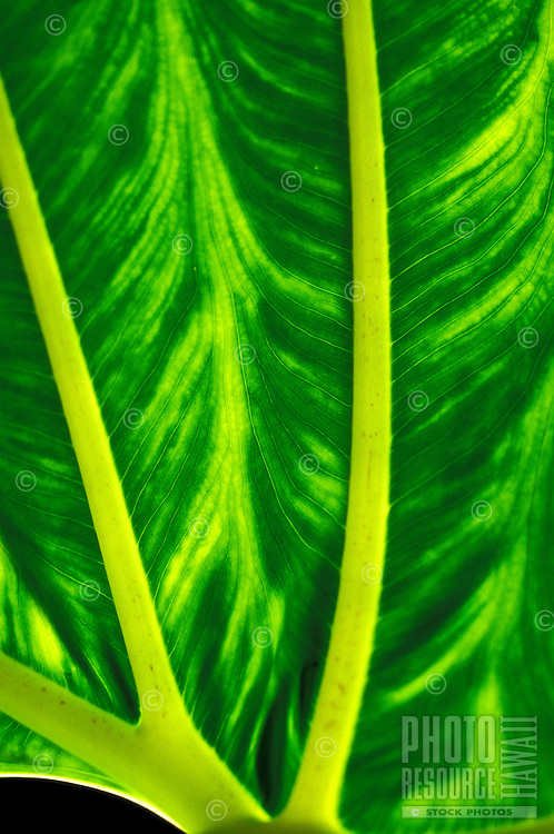 A view of the underside of a brightly colored green and yellow-green tropical leaf