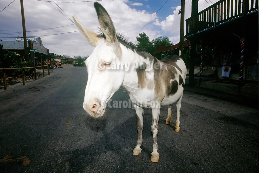 White pinto jackass on Main Street, Route 66, downtown Oatman, Ariz.