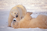 Polar bears play in snow, Manitoba, Canada