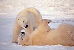 Polar bears play in snow, Manitoba, Canada