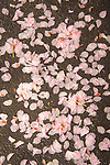 Kwanzan cherry petals on asphalt.