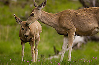 A mule deer doe nuzzles an adolescent fawn in a meadow near Tower Falls in Yellowstone National Park, Tuesday, May 31, 2005. (Kevin Moloney for the New York Times)