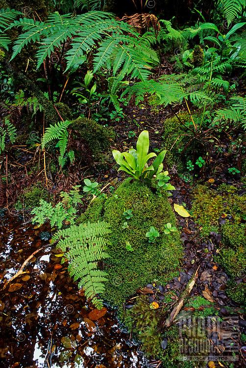 Kamakou Nature Conservancy Preserve, ferns