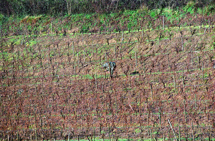 Man pruning a vineyard in winter. Bonnezeaux. Coteaux du Layon, Anjou, Loire, France
