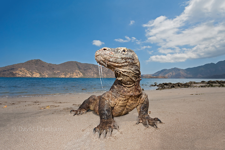 Komodo dragons, Varanus komodoensis, are the worlds largest lizards. The saliva dripping from the dragon's mouth contains an extremely damaging and virulent bacteria that will kill any animal that is bitten. Rinca Island, Komodo National Park, Indonesia.