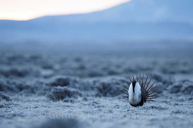 Male Greater Sage-Grouse (Centrocercus urophasianus) displaying on a lek in spring. Sublette County, Wyoming. April.