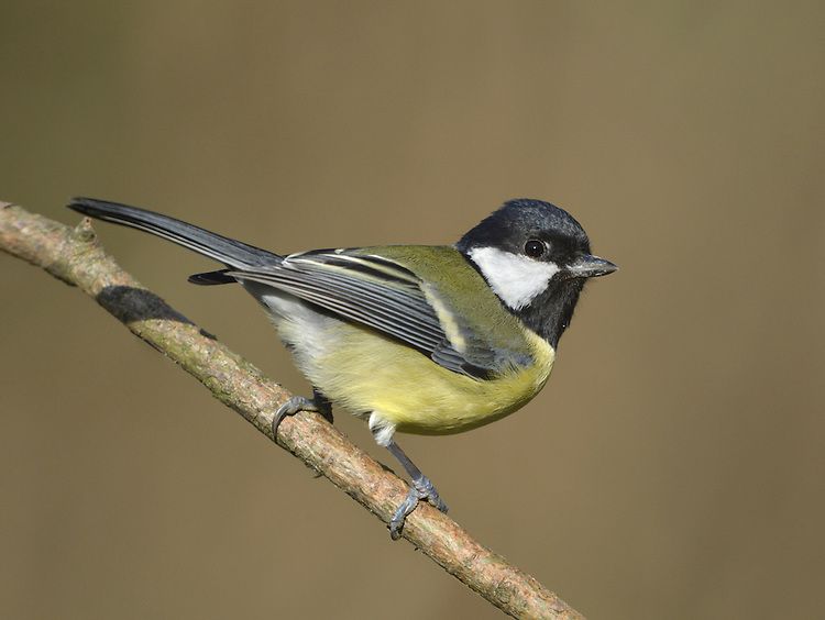 Great Tit Parus major L 14-15cm. Bold, well-marked bird with distinctive song. Sexes are separable with care. Adult male has white cheeks on otherwise black head; black throat continues as black line down centre of breast on otherwise yellow underparts. Upperparts are greenish and blue but note white wingbar. Adult female is similar but with narrower black line on breast. Juvenile is duller than adult. Voice Utters harsh tche-tche-tche alarm call. Song is variation on teecha-teecha-teecha theme. Status Common resident of lowland woodlands and gardens.