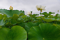 A field of lotus plants (for edible lotus root), Naruto, Tokushima Prefecture, Japan, July 8, 2014. The city of Naruto in Tokushima Japan is famous for whirlpools that form in the Naruto Strait. It is home to Otani pottery and the first two temples on the Shikoku 88 temple pilgrimage.