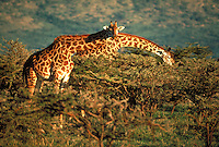 One giraffe rests its head on the neck of another as it picks leaves from the branches of aa acacia. Kenya, Africa.