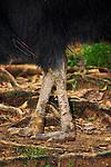 Cassowary legs