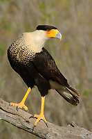 Adult Crested Caracara (Caracara cheriway). Starr County, Texas. March.