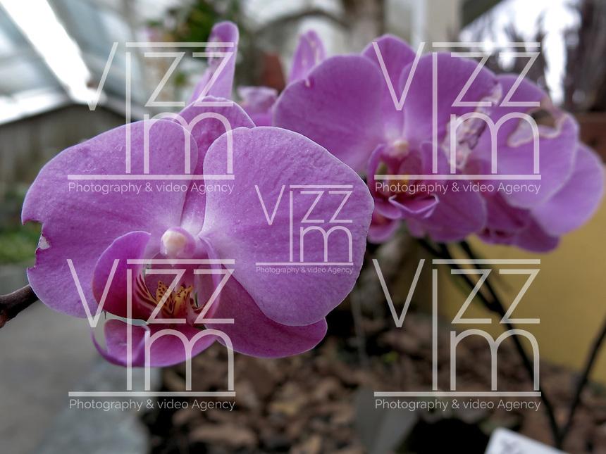 BOGOTÁ-COLOMBIA- 15-01-2013. Orquídea Phalaenopsis hibrido. Orchid Phalaenopsis hybrid,   (Photo:VizzorImage)