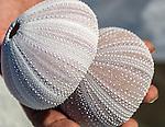 Sea Urchin shells on the remote island of Kiritimati in Kiribati