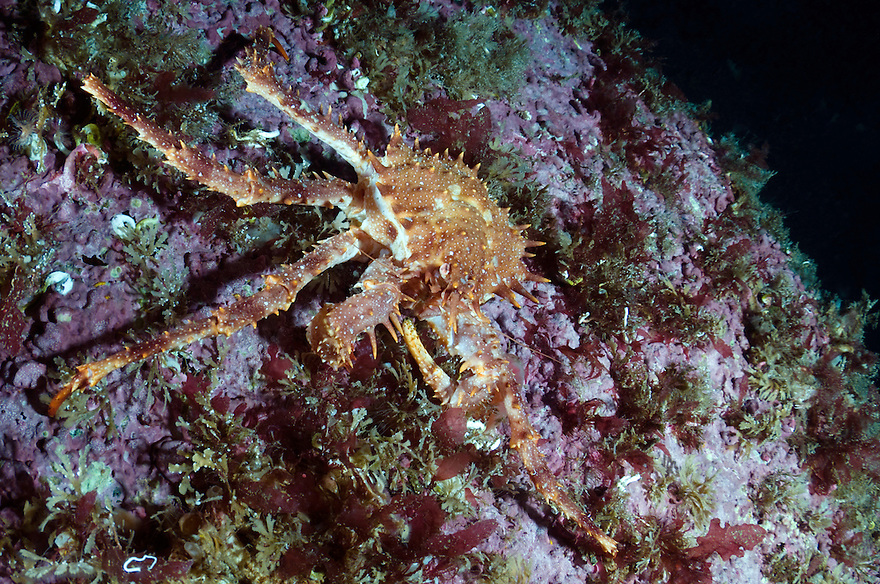 Stone crab, Lithodes maja, without a couple of legs, Lofoten, Norway
