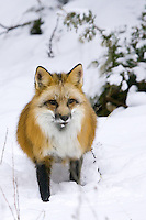 Red Fox watches while standing in the snow - CA
