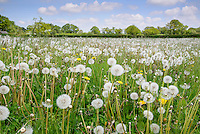 Field full of dandelions, Shawbury.