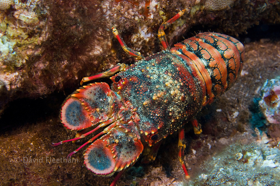 Regal slipper lobsters, Arctides regalis, are also called shovel-nosed lobsters. Hawaii.