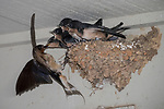 Horseshoe Bay, Texas; four fledgling Barn Swallows (Hirundo rustica) waiting with mouths open, in their mud nest at twilight, as one of their parents brings them food