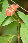 Cockscomb Basin Wildlife Sanctuary, Belize, Central America; Hot Lips flower (Psychotria poeppigiana) at the edge of the walking trail in the undergrowth of the jungle floor , Copyright © Matthew Meier, matthewmeierphoto.com All Rights Reserved