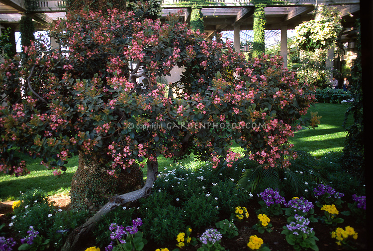 Rhaphiolepis delacouri hawthorn in pink bloom in garden with primula primroses