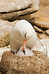 Black-browed Albatross (Diomedea melanophrys), an endangered species, adult with chick in the nest, Falkland Islands