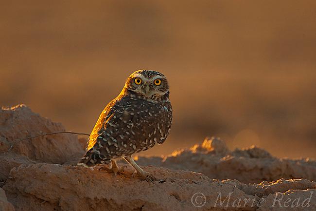 Burrowing Owl (Athene cunicularia) at sunset, Salton Sea National Wildlife Refuge, California, USA