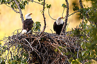 Bald eagles work on nest in cottonwood tree at Potter Marsh State Game refuge in Anchorage, Alaska -- Spring  Southcentral, Alaska <br /> <br /> Photo by Jeff Schultz (C) 2016  ALL RIGHTS RESERVED