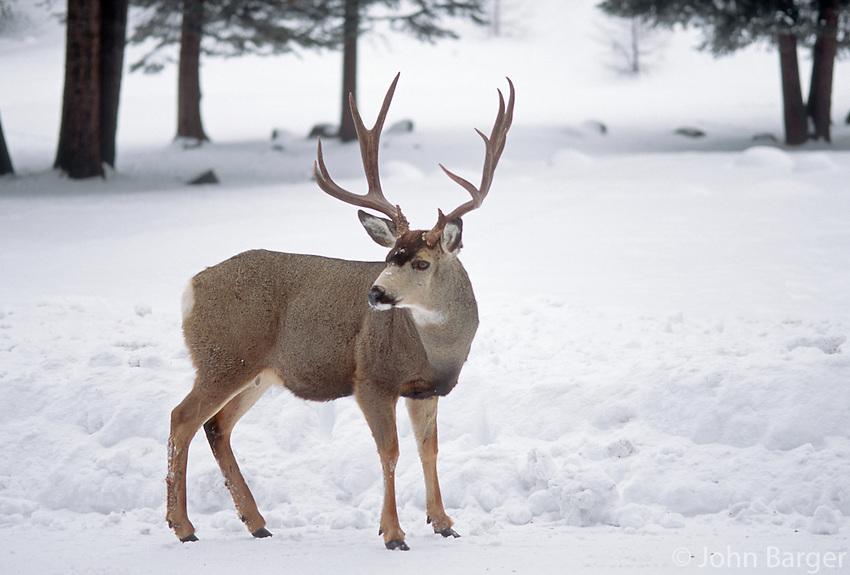 35-M07-DM-36    MULE DEER (Odocoileus hemionus californicus) male  in snow, Wallowa-Whitman National Forest, Oregon, USA.