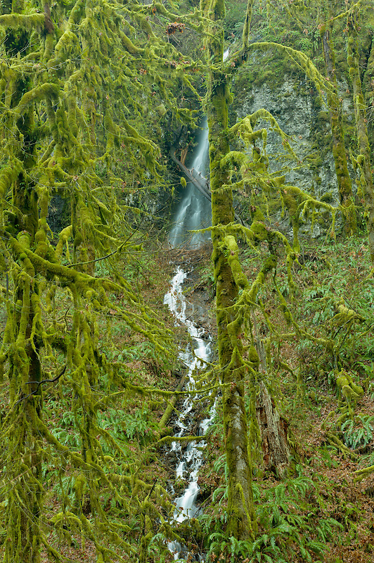 Moss covered Big Leaf Maple trees and seasonal waterfal. Silver Falls State Park, Oregon