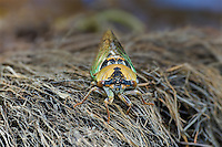 335000003 a wild dog day cicada genus tribicen resting on a pile of dead grasses at empire creek las cienegas natural area pima county arizona united states