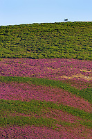 Heather/Parc naturel regional du Haut-Languedoc/Caroux/France