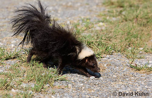 0821-0902  Striped Skunk with No Stripe Pattern (Rare), Mephitis mephitis © David Kuhn/Dwight Kuhn Photography