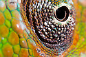 Panther Chameleon {Furcifer pardalis} close-up of eye. Masoala Peninsula National Park, north east Madagascar.