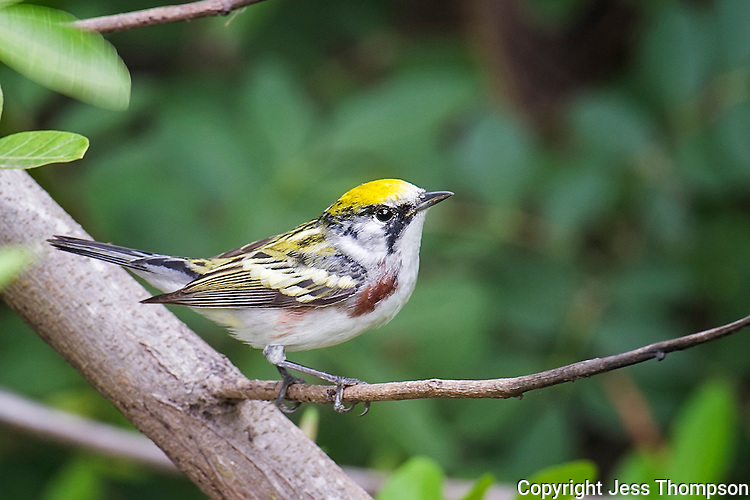 Chestnut-sided Warbler, South Padre Island, Texas