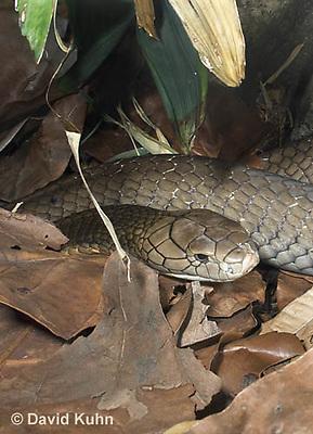 0503-1103  King Cobra (India, Largest Venomous Snake in the World), Ophiophagus hannah  © David Kuhn/Dwight Kuhn Photography