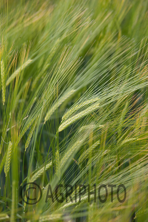 Winter Barley coming into ear<br /> Picture Tim Scrivener 07850 303986<br /> tim@agriphoto.com<br /> ?.covering agriculture in the UK?.