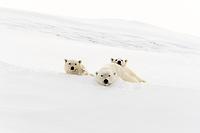 Polar bears (Ursus maritimus), mother animal and two cubs, 15 months, resting on snow, Unorganized Baffin, Baffin Island, Nunavut, Canada, North America