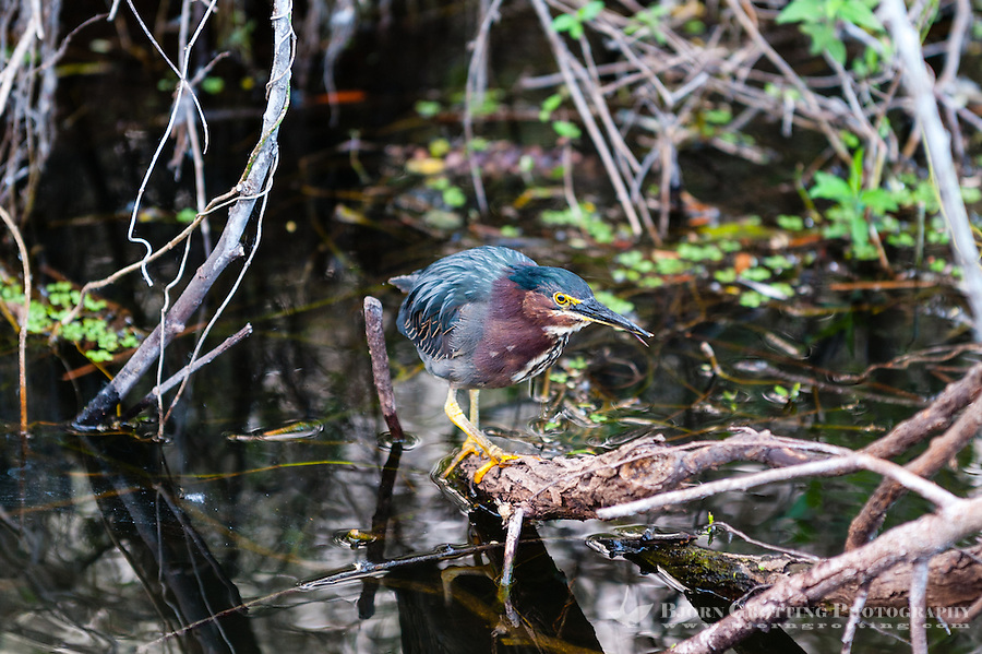 US, Florida, Everglades, Shark Valley. Green Heron.