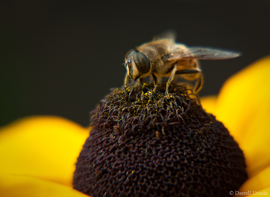 Macro Photograph of a bee on a flower gathering pollen.