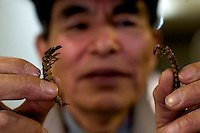 Mr Tsukahara holds stone-fly larvae, known as  zaza-mushi, near Ina City, Nagano Prefecture, Japan. Mr Tsukahara cooks and sells the larvae which is a nutritious food.