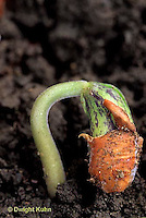 HS30-030c  Bean - seedling - emerging from soil with seed coat attached - Provider variety