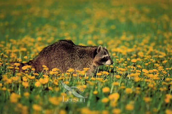 RACCOON walking through dandelion meadow.Spring. North America..(Procyon lotor).
