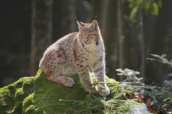 Eurasian Lynx (Lynx lynx), young sitting on rock, Switzerland, Europe