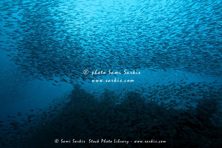 School of nose-spot cardinal fish (rhabdamia cypselura) swimming, Nelivaru, Baa Atoll, Maldives.