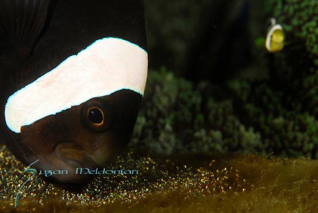 Saddleback Anemone fish w eggs,Amphiprion polymnus,Lembeh Straits; Sulawesi Sea; Indonesia; Amazing Underwater Photography