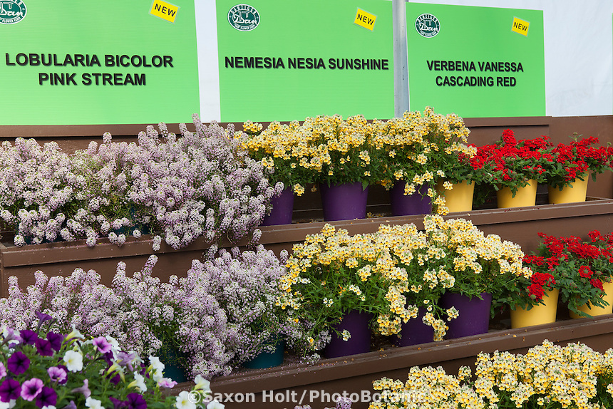 Nemesia Nesia Sunshine and Lobularia Bicolor Pink Stream on display bench; Danziger, California Spring Trials 2014