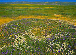 Spring wildflowers carpet the Carrizo Plain; roughly 50 miles (80 km) long and up to 15 miles (24 km) across. Contains the 250,000 acre (1,012 km²; 101,215 ha) Carrizo Plain National Monument (Est. 1/17/2001), largest single native grassland (San Joaquin Valley biogeographic province) remaining in California. San Luis Obispo County, CA.