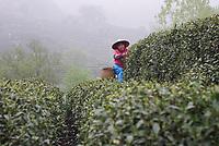 Longjing Village, Hangzhou, Zhejiang province, China  - A tea farmer picks Longjing green tea leaves, April 2018.