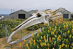Bush lupine and gray whale skeleton