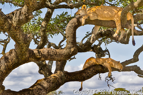 2 Lions up a Tree, Serengeti, Tanzania
